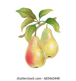 Pears. Realistic vector illustration plant. Hand drawing with colored pencils. Fruit, leaf, branch of tree isolated on white background. Decoration for kitchen design, food packaging. Vintage.