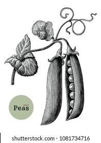 Peas branch hand drawing vintage engraving illustration