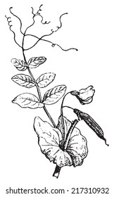 pea plant images, stock photos \u0026 vectors shutterstock Avocado Plant Diagram peas, vintage engraved illustration dictionary of words and things larive and fleury