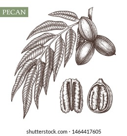 Pecan vector illustrations. Hand drawn food drawing. Nut trees sketch collection. Organic vegetarian product. Perfect for recipe, menu, label, packaging, Vintage set with nuts, leaves, branches.