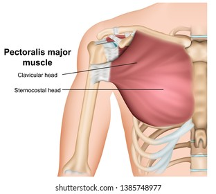 pectoralis major breast muscle anatomy, 3d medical vector illustration on  white background