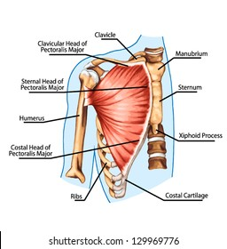 pectoralis major muscle, muscles of chest, thorax, brisket, breast, bust -