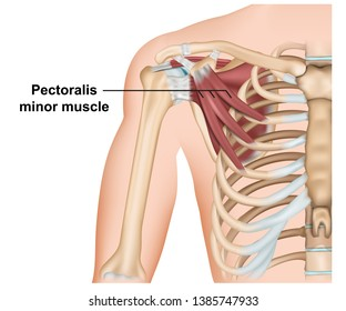 Pectoralis minor muscle anatomy, 3d medical vector illustration on white background