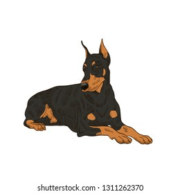 pedigree dog doberman pincher