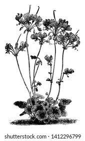 Pelargonium Endlicherianum is a clump-forming perennial. The flowers are relatively large and comprise two large, upper, carmine-magenta petals and three much smaller lower ones, vintage line drawing