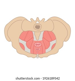 Pelvic floor flat illustration. Bone structure, muscles, prolapse. Women reproductive health. Can bes used for topics like medicine, fitness, human body