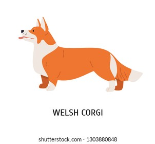 Pembroke Welsh Corgi. Small cute lovely dog of herding breed or sheepdog isolated on white background. Adorable purebred domestic animal or pet. Colorful vector illustration in flat cartoon style.