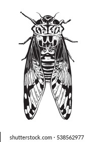 Pen and ink drawing of a cicada insect