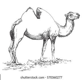 Vectores, imágenes y arte vectorial de stock sobre Camel
