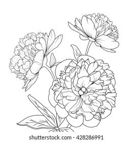 Peonies isolated on white background. Spring summer flowers vector illustration.