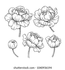 Peony botanical drawing. Vector hand drawn engraved flower set. Blooming Peonies sketch. Black ink florals. Great for tattoo, invitations, greeting cards, decor