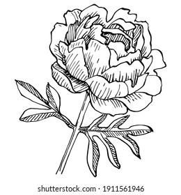 Peony botanical flower. Isolated illustration element. Vector hand drawing wildflower for background, texture, wrapper pattern, frame or border.