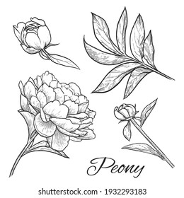 Peony flower, buds and leaves isolated on white background. Hand drawn vector illustration.