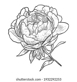 Peony flower with leaves isolated on white background. Hand drawn vector illustration.