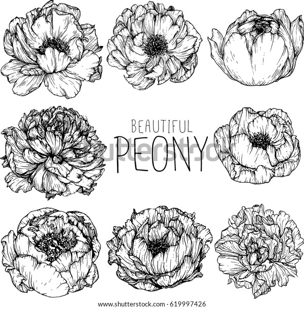 Peony Flowers Drawing Illustration Vector Clipart Stock