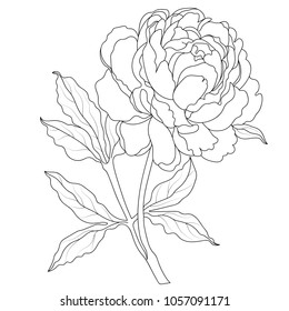 Peony flowers on a white background. Vector illustration.Black and white ink illustration of a peony flowers.Peony flowers drawing vector illustration and line art.