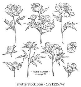 Peony flowers set 2 on white backgrounds. Vector hand drawn illustration. For invitations, tattoo, greeting cards, decor