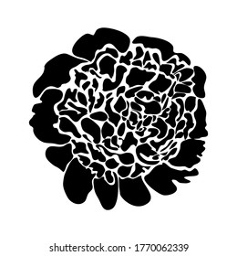 Peony. Hand drawn vector illustration, isolated on a white background.
