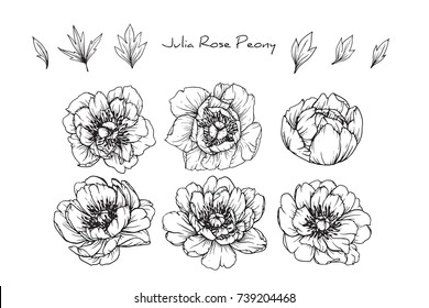 Peony Julia rose flowers drawing with line-art on white backgrounds.