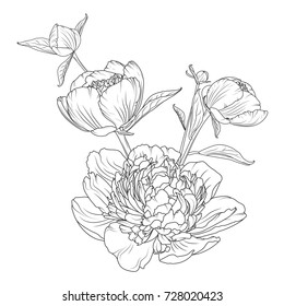 Peony rose flowers bouquet composition. Detailed realistic outline sketch drawing. Black line art on white background. Closeup macro view. Vector design illustration.