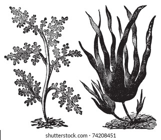 Pepper dulse, red algae or Laurencia pinnatifida (left). Oarweed or Laminaria digitata (right). Vintage engraving. Illustration of two types of algae, red and brown algae.