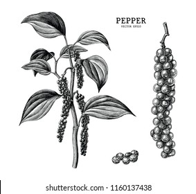 Pepper hand draw vintage clip art isolated on white background