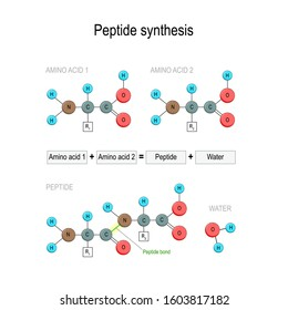 Peptide synthesis. Two amino acids combined into a peptide to form a water molecule and a peptide bond. Vector illustration for medical, educational and science use