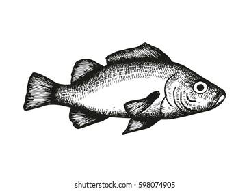 Perch fish vector sketch