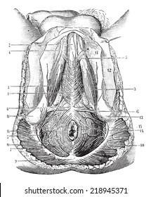 Perineum humans, vintage engraved illustration. Usual Medicine Dictionary - Paul Labarthe - 1885.