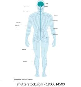 PERIPHERAL NERVOUS SYSTEM. The human nervous system vector medical illustration