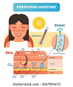 Perspiring Anatomical Human Skin Layers Cross Section Vector Illustration Diagram Poster with Sweat Secreting Cells in Hot Body Temperature in the Sun or while Exercising.