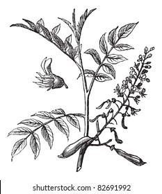 Peru Balsam or Myroxylon peruiferum, vintage engraved illustration. Trousset encyclopedia (1886 - 1891).
