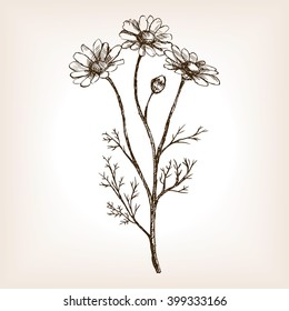 Pharmacy daisy sketch style vector illustration. Old engraving imitation. Matricaria chamomilla plant hand drawn sketch imitation