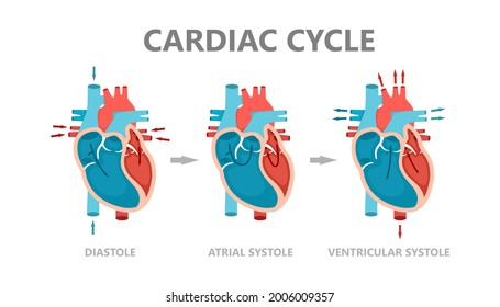 Phases of the cardiac cycle - diastole, atrial systole and atrial diastole. Circulation of blood through the heart. Human heart anatomy with blood flow.