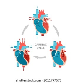 Phases of the cardiac cycle - diastole, atrial systole and atrial diastole. Heart anatomy diagram with blood flow.