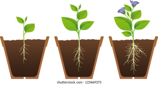 Phases of growth of a plant