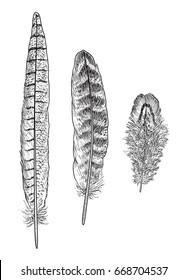 Pheasant feather illustration, drawing, engraving, ink, line art, vector