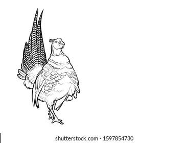 Pheasant (Phasianus colchicus). Line drawing. Vector illustration.