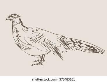 pheasant vector, hand draw sketch