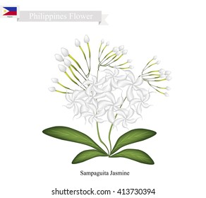 Philippines Flower, Illustration of Sampaguita Jasmine or Arabian Jasmine. The National Flower of Philippines.