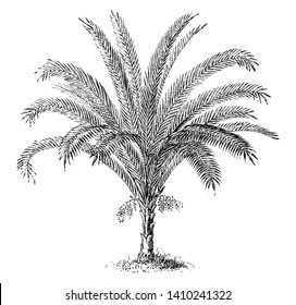 Phoenix Reclinata is a type of date palm and its maximum growth is upto fifty feet tall, vintage line drawing or engraving illustration.