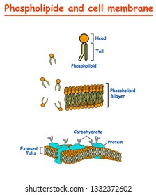 Phospholipides and Cell mambrains. cell membrane structure diagram info graphic on white background isolated. Education vector illustration
