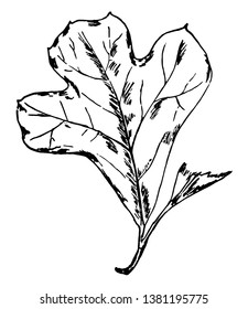 Photo of an abruptly wide leaf from top with small base, vintage line drawing or engraving illustration.