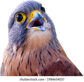 Photo realistic close-up portrait of a Rock Kestrel