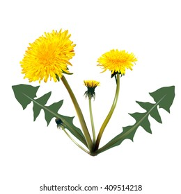 Photorealistic vector. Dandelion on a white background with shadow. mesh