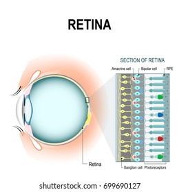 Photoreceptor. retinal cells: rod and cone cell, amacrine, ganglion, bipolar and RPE. The arrangement of retinal cells is shown in a cross section. infographic of human eye