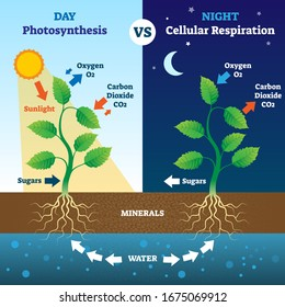 Photosynthesis and cellular respiration comparison vector illustration. Biological process explanation in day and night. Oxygen, carbon dioxide, sugars, minerals and water system explanation scheme.