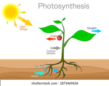 Photosynthesis changes sunlight into chemical energy, splits water to liberate oxygen, and fixes carbon dioxide into sugar. convert light energy content carbohydrates. Plants, tree, leaf. Draw Vector
