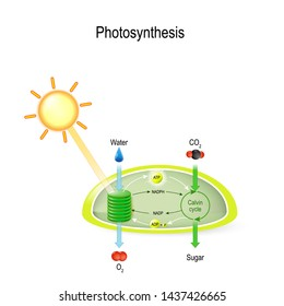 photosynthesis in a chloroplast. Calvin cycle. In process of photosynthesis, plant water absorbing, light from the sun, and carbon dioxide from the atmosphere and converting it to sugars and oxygen