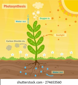Photosynthesis - Colorful illustration of the photosynthesis process. Eps10